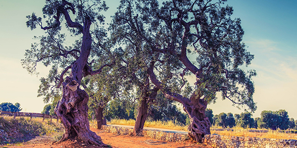 Olive forest